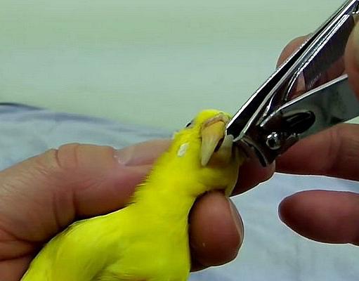 как правильно подрезать попугаю клюв