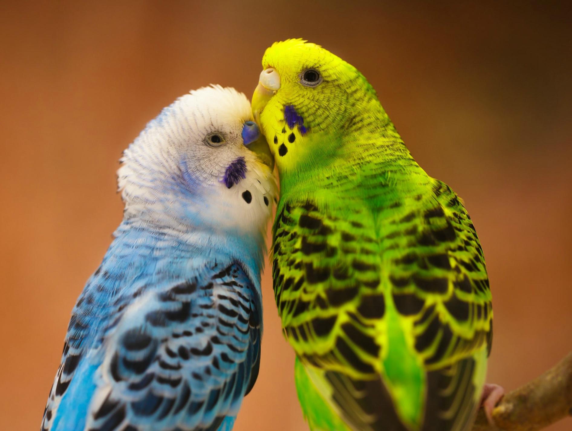 одышка у попугаев