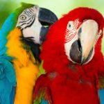 Как ухаживать за попугаем Ара?