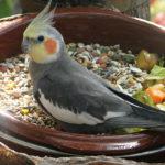 какой корм для попугая корелла лучший фото