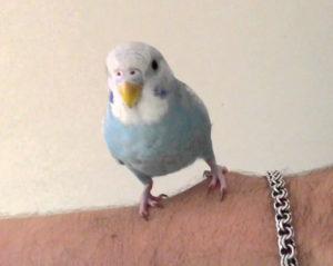 кашель у волнистого попугая фото