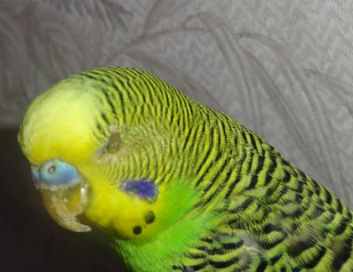 у попугая закрыт один глаз
