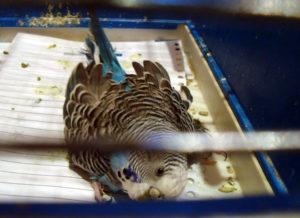 приступы у попугая фото