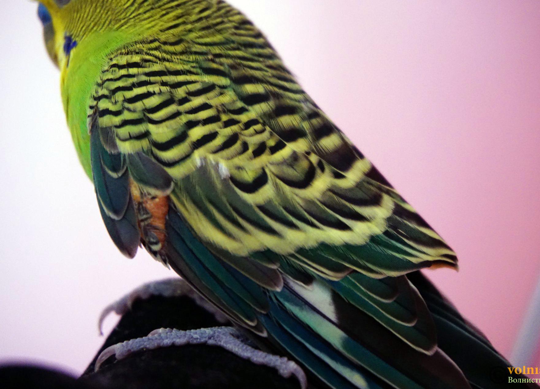 у попугая шишка на крыле