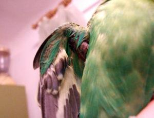 у попугая шишка на крыле фото