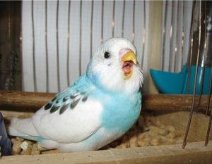 попугай открывает клюв фото