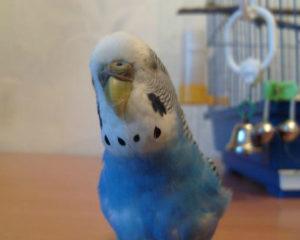 у попугая кашель фото