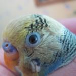 Как выбрать глазные капли для попугая?