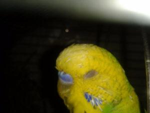 попугай щурит глазик фото