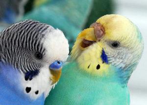 попугаи дерутся фото