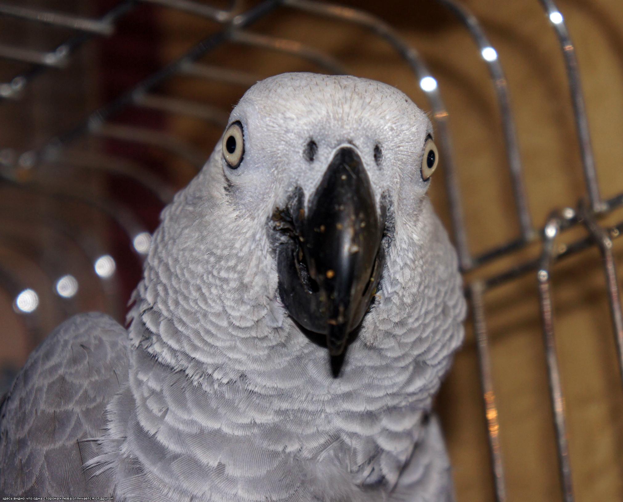 попугай чешет попу