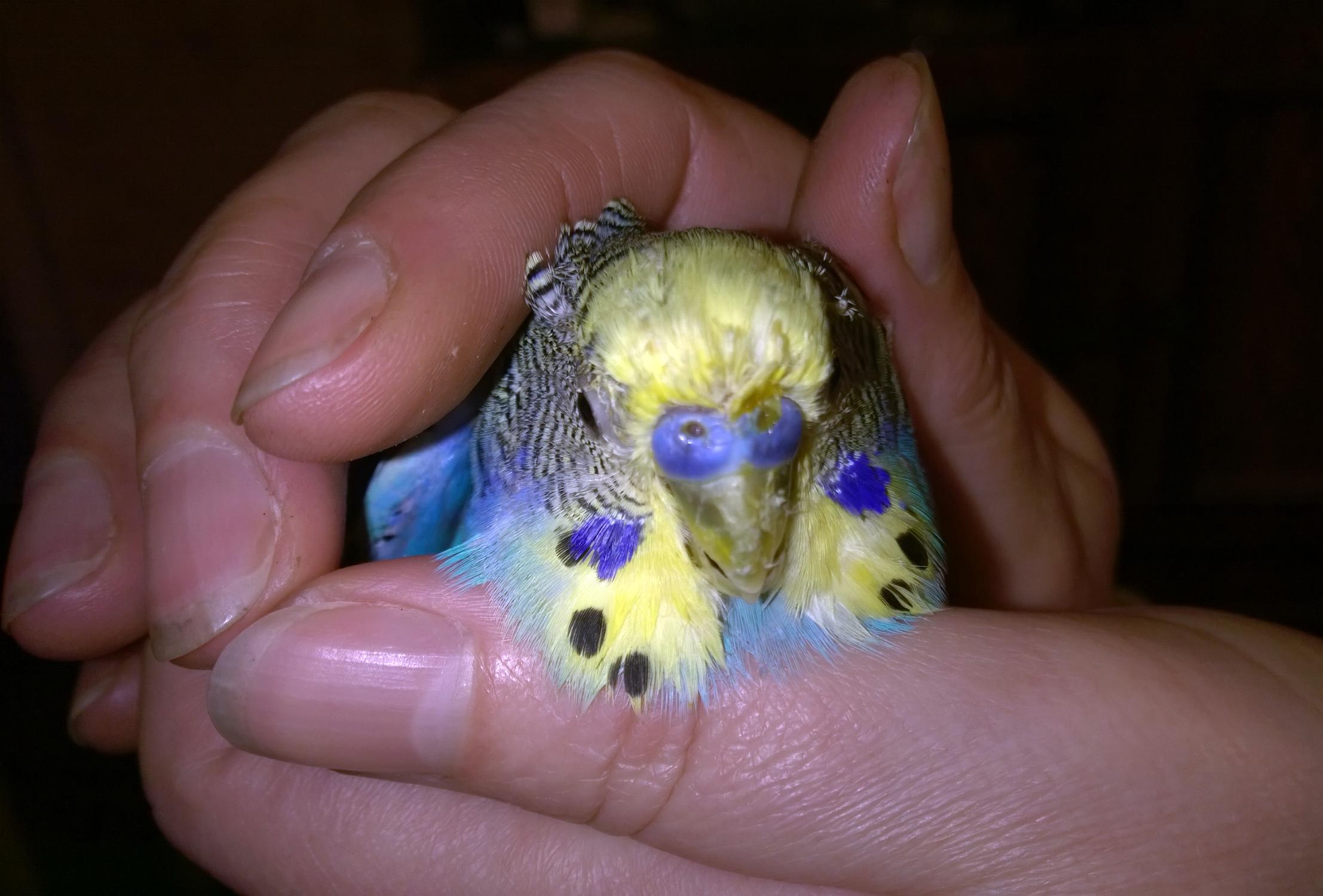 приступы у попугая