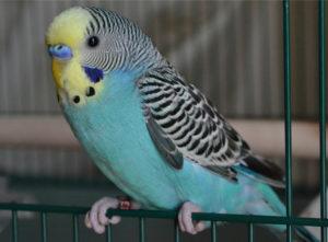 попугай трясет головой фото