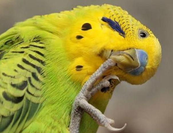 болит лапка у попугая
