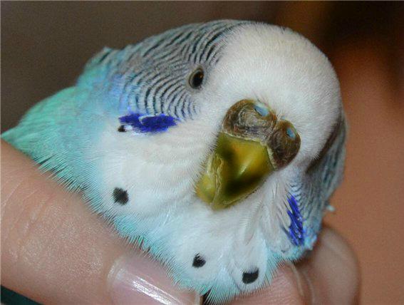 у попугая почернел клюв