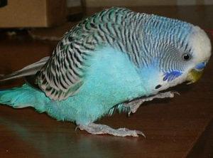попугай хромает фото
