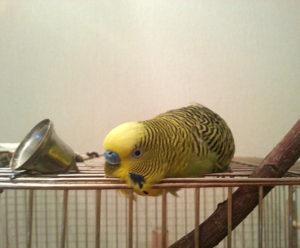 попугай лежит на животе и не двигается фото