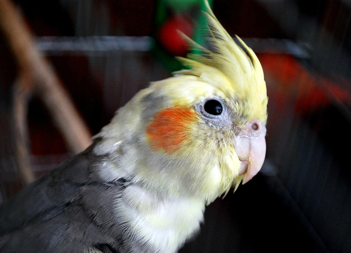 попугай худеет