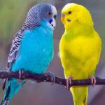 Почему попугаи дерутся между собой?