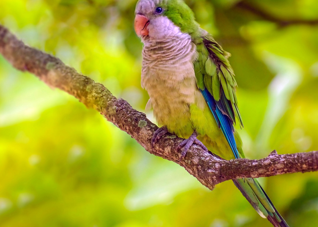 попугай нахохлился