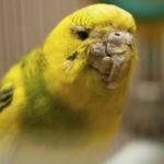 клещи у попугая фото