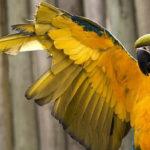Как правильно подрезать крылья попугаю?