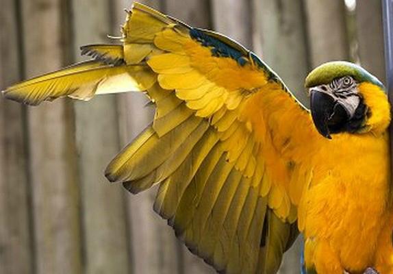 как обрезать крылья попугаю