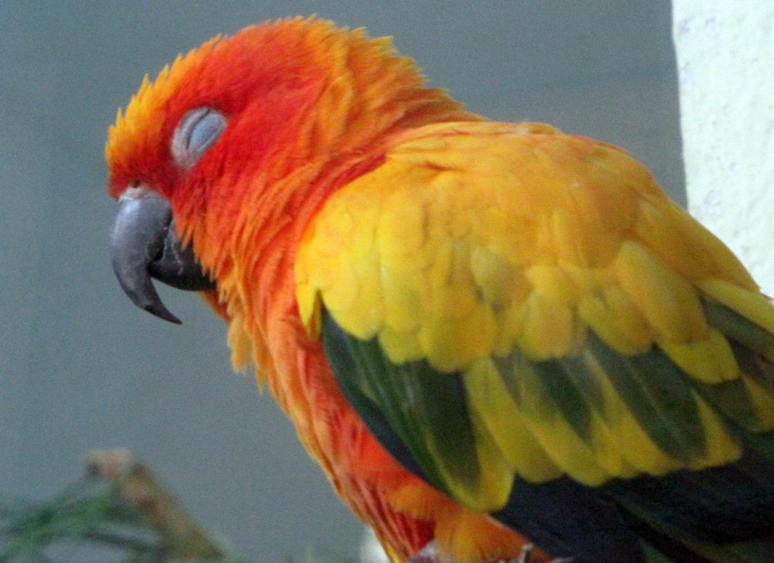жидкий помет у попугая