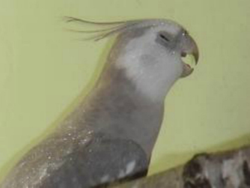 попугай щурит глаз