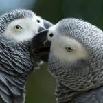 Что нужно знать про попугаев Жако перед тем, как их заводить?