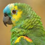 Сложно ли ухаживать за попугаем Амазон?