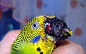 у попугая идет кровь из клюва фото