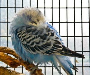 попугай прячет клюв под крыло фото
