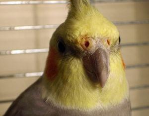 насморк у попугая фото