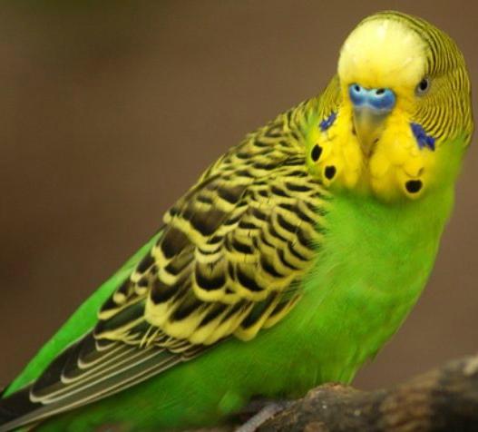 попугай не пьет воду из поилки