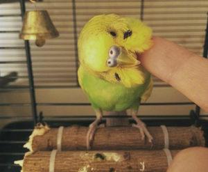 попугай чешет голову о клетку фото