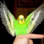 попугай расправляет крылья и дрожит фото