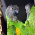 Почему попугай может биться об зеркало?