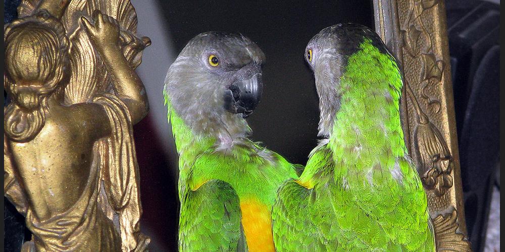 попугай бьется об зеркало