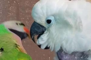 попугай громко кричит по утрам