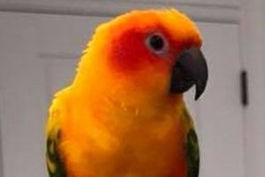 попугай грызет под крылом лечение