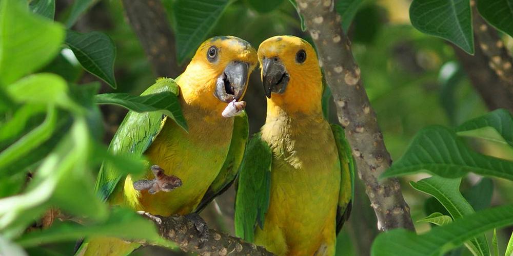 попугай грызет под крылом