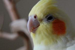 попугай не чирикает причины