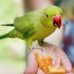 Попугай не ест фрукты — на что указывает странное поведение любимца?