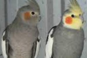 попугай не спит ночью