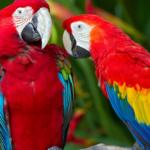 Из-за чего попугай может перестать разговаривать?