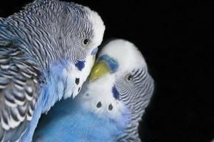 попугай постоянно бьется об зеркало