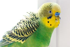 попугай постоянно кричит по утрам