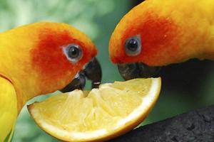 у попугая громко урчит живот