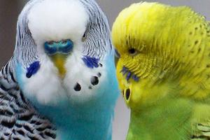 у попугая осип голос